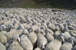Pecore al Voto